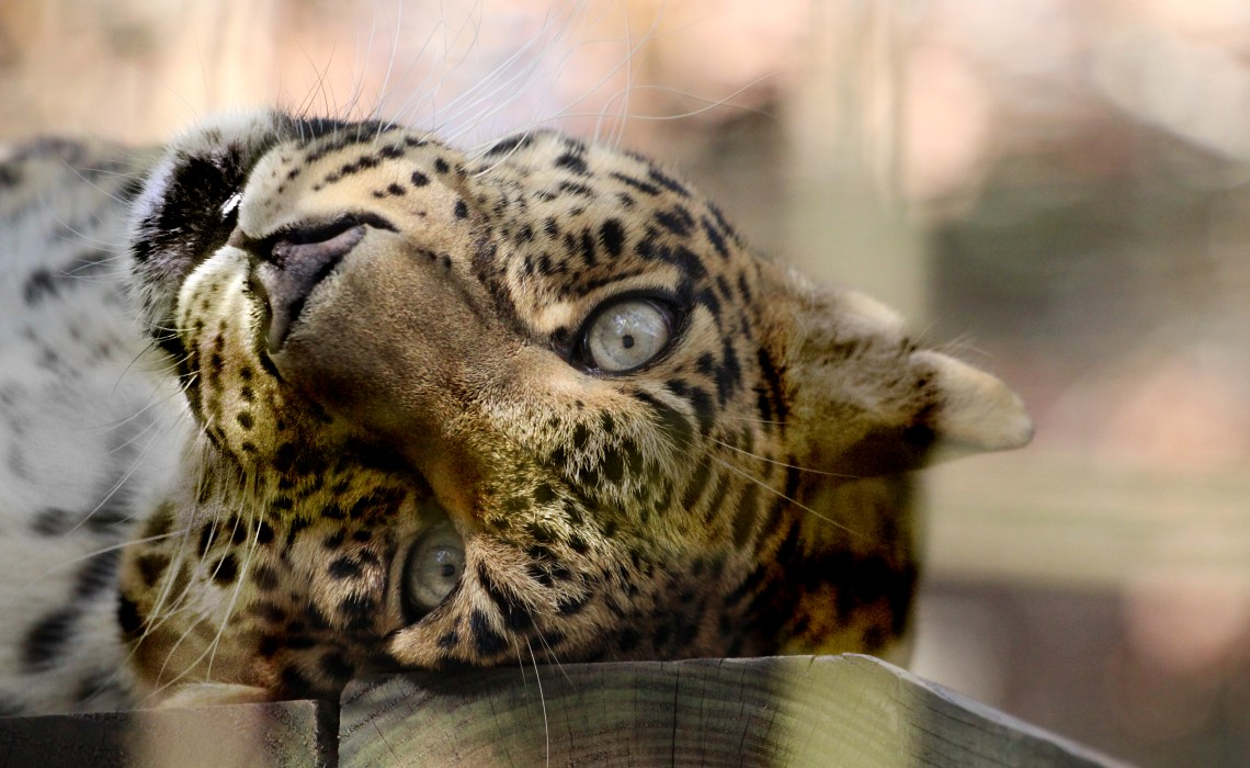 A day out at the Big Cat Rescue