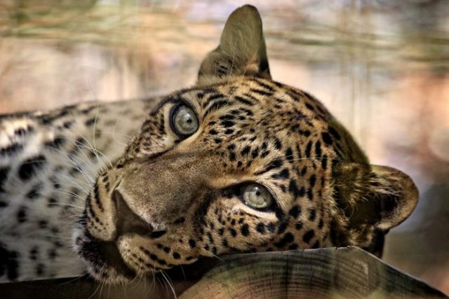 Big Cat Rescue - Sundari Leopard