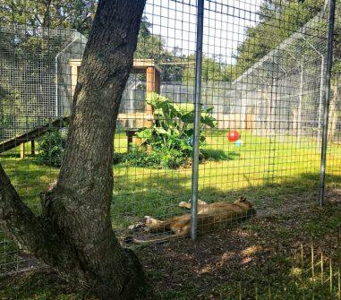 Sleeping Lion Enclosure