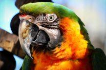 _SPS Macaw