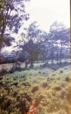 Seeing my first giraffe... totally out of focus but I still have it recorded!