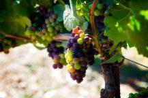 Domaine Carneros grapes