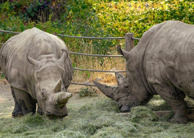 Safari West Rhinos