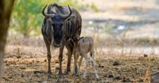 Safari West Wildebeest Baby copy