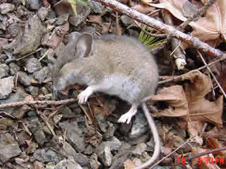 Tips on avoiding hantavirus