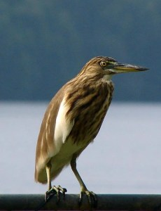 Indian_Pond_Heron_in_Sri_Lanka