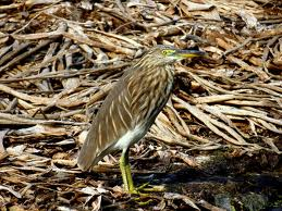 pond heron camouflage