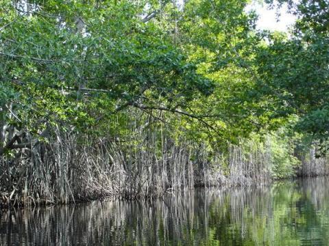 186572-Mangrove-Trees-0