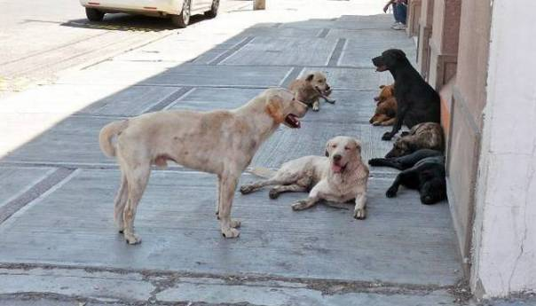 Estima ecología municipal 300 mil perros en situación de calle en la capital