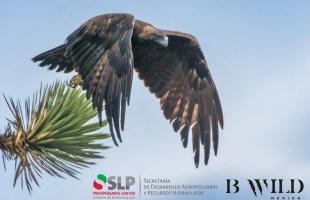 SLP suma esfuerzos para la conservación del águila real