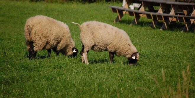 Dom här hade rymt.. Men de hade inte gått långt. Gräset är helt enkelt grönare på andra sidan. Stängslet.