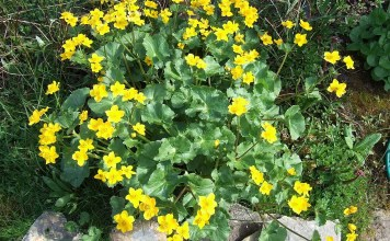 Блатняк Caltha palustris L.