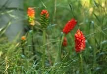 Петнист змиярник (змийски лапад) Arum maculatum L.