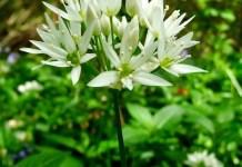 Левурда (мечи лук) Allium ursinum L.
