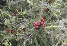 Червена хвойна Juniperus oxycedrus L