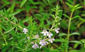 Градинска чубрица Satureja hortensis L.