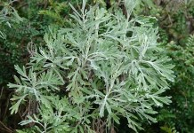 Бял пелин Artemisia absinthium
