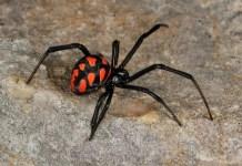 Черен паяк