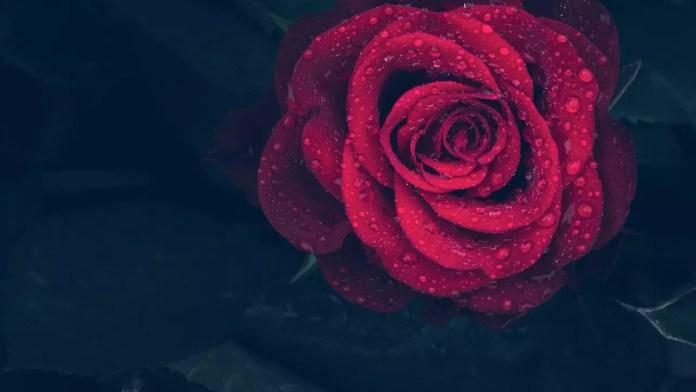 Цветът на розите носи тайнствени послания - Червената
