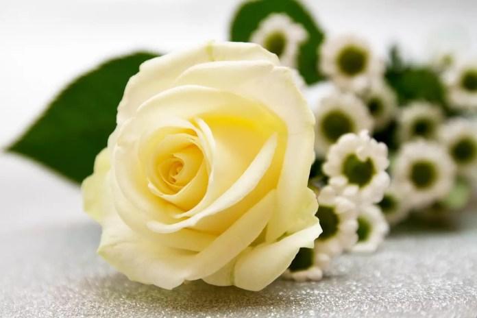 Цветът на розите носи тайнствени послания - Бяла