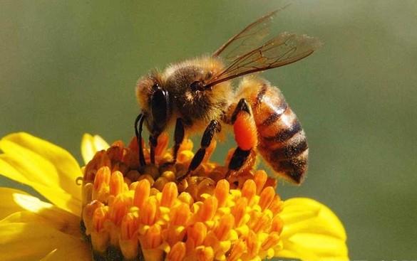 Bật Mí Đời Sống Loài Ong – Đặc Điểm, Tập Tính Xã Hội Của Loài Ong Mật
