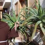 18 Tác Dụng Của Cây Aloe Vera (Lô Hội – nha đam)