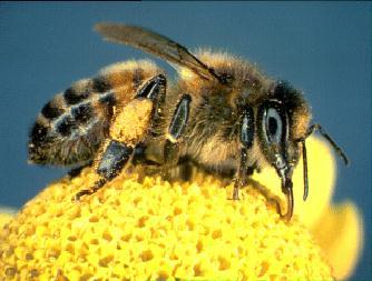 Tác dụng của phấn hoa-phấn ong Forever Bee Pollen 026 Flp Có Gì Nổi Trội?