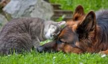 amitié chat chien