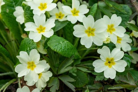 Primrose 36 List of Flower फूलों के नाम