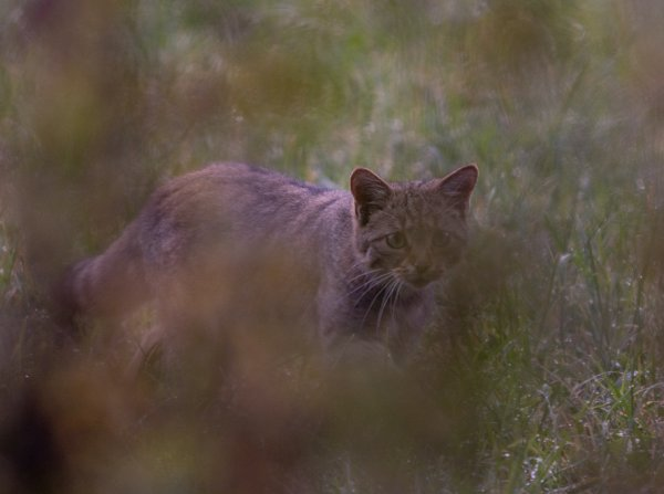 Chat-forestier01