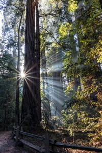 SMC_2632-Redwoods and Sunbeams-4x6x300dpi
