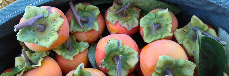 FruitTreesPersimmon1500w