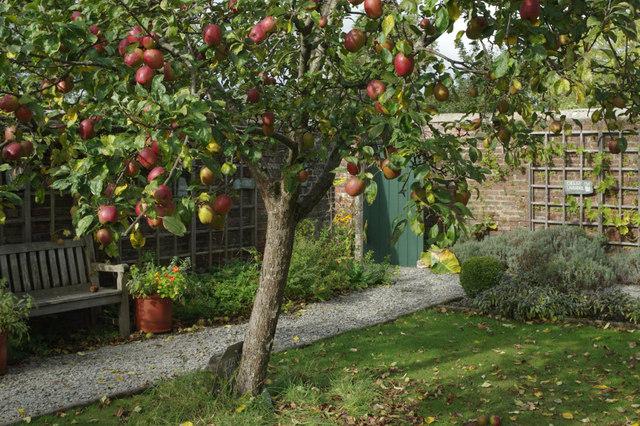 Apple tree in enclosed garden area near a bench
