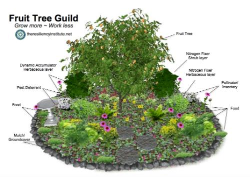 Fruit tree guild design