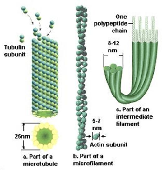 Mikrofilamen sel hewan