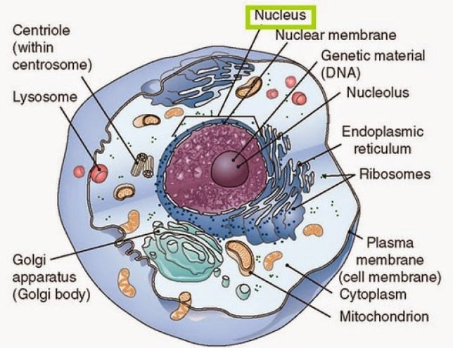 nukleus sel hewan