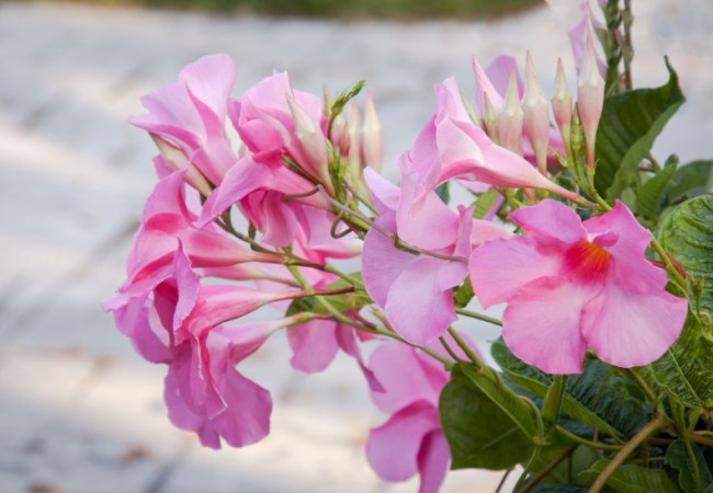 47 beautiful pink flower suitable for your garden beautiful pink flowers alice du pont mandevilla mightylinksfo