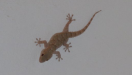 Geckos appear