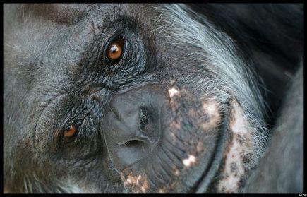 Plantes médicinales primates - visage de singe