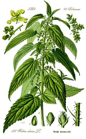 Description botanique de l'ortie