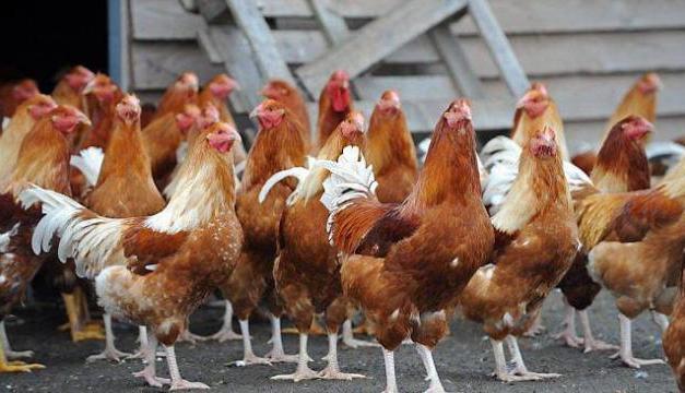 Résistance aux médicaments: «Cessons d'utiliser des antibiotiques chez des animaux en bonne santé», selon l'OMS