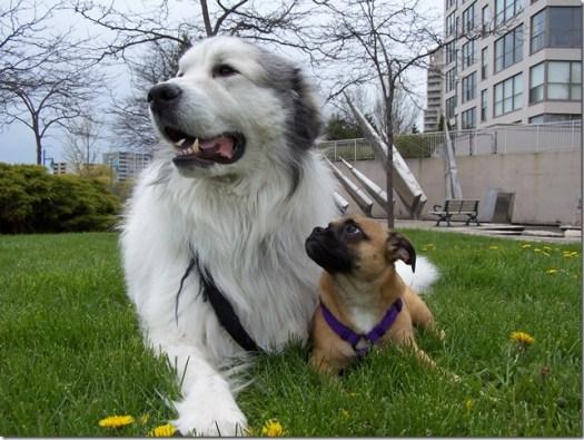 vaccins chiens