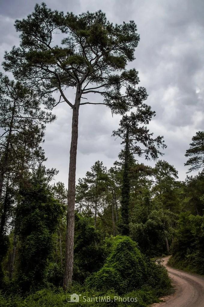 Alto como un pino
