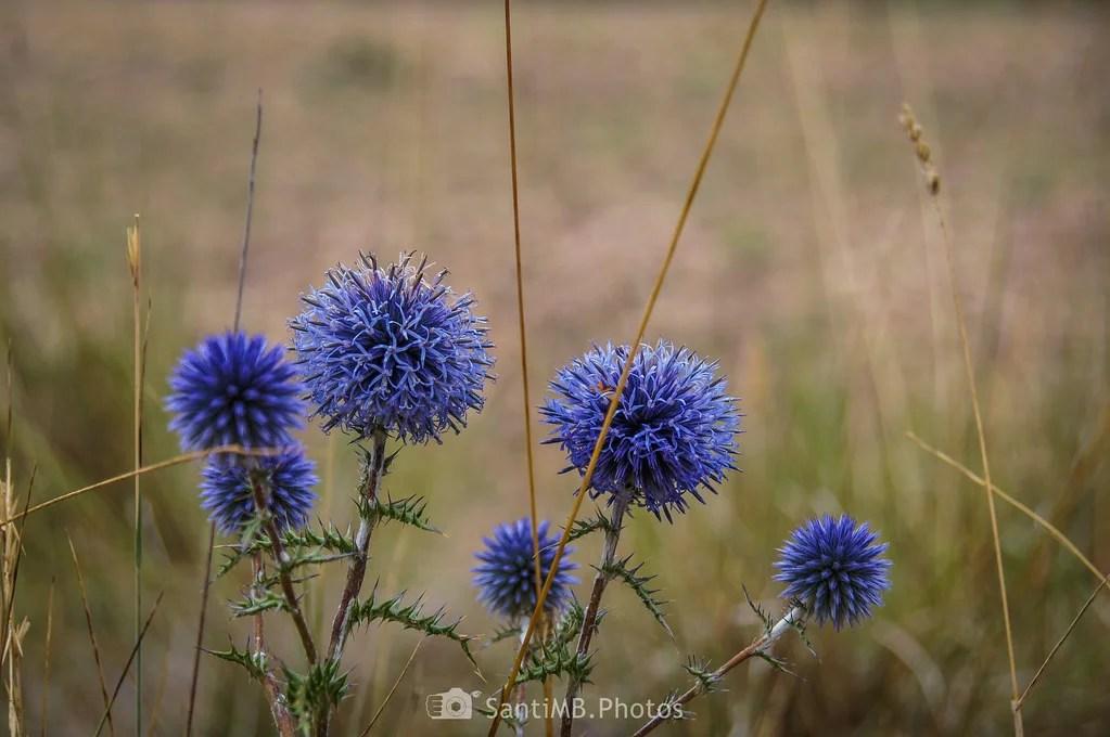 Erizos azules