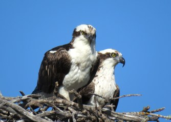Ospreys photo by Rick Bunting