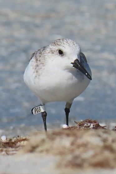 shorebird1