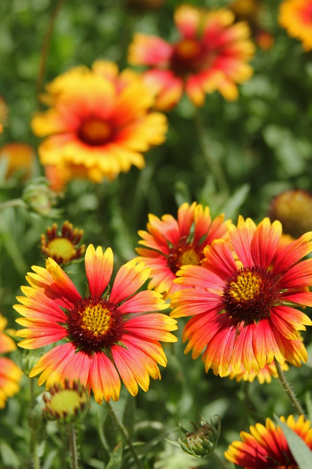 Gaillardia or Blanket Flower