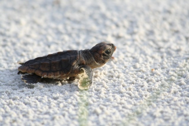 VIDEO: Baby Sea Turtles Emerge From Nest on Captiva