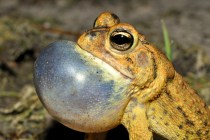 Native southern toad (Anaxyrus terrestris). SCCF photo