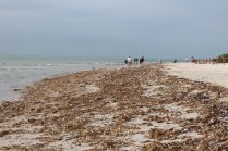 The heaviest concentration of dead sea life at Gulfside City Park on Feb 8. Photo provided by SCCF